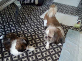 1 shih tzu kc reg cheeky guy is ready for his new home