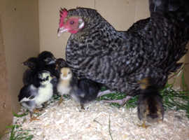 exceptional mummy hen and her three chicks for sale .....cute and  very friendly