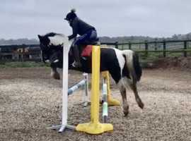 14.2hh alrounder