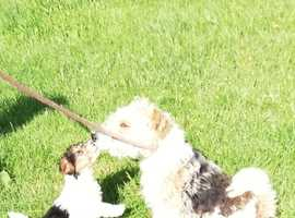 Pedigree beautiful fox terrier puppies for sale