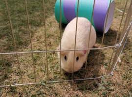 2 sister guinea pigs, hutch & run.