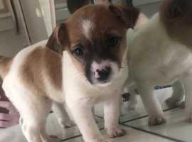 3 beautiful jack Russel puppies left