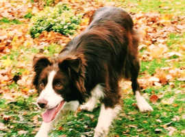 2 year old Welsh Collie, Great dog