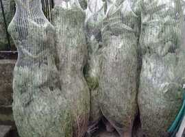 Real christmas trees for sale, wholesale and domestic orders welcome
