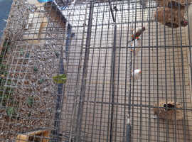 Trios of zebra finches