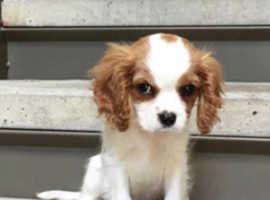 King Charles puppy super cute