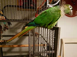 Conure parrot Jojo