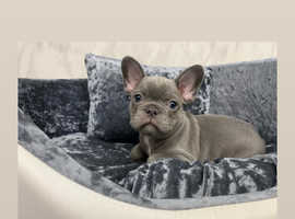 French bull dog puppies, all carry cream