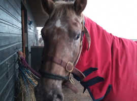 15hh appy x Welsh D mare REDUCED