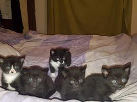 Half British short hair kittens