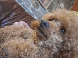 Kc reg health tested clear fully vaccinated male mini poodle