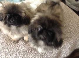 Beautiful male Pekingese puppies.