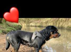 Stud wanted !!! Rottweiler