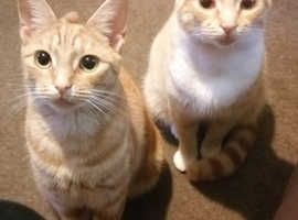 2 ginger male cats