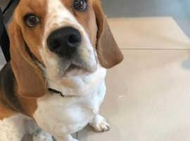 Beautiful Female Beagle - Mable