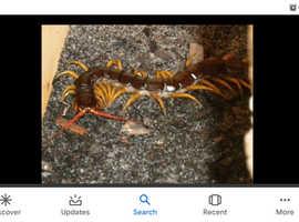 Vietnam giant centipede