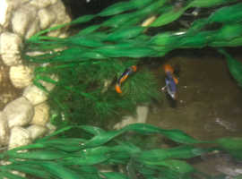 Assorted colourful guppies 5 for £5