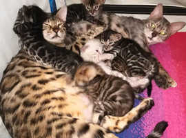 4 Bengal Kittens for sale