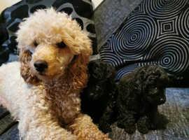 Kc reg 9 weeks toy poodle puppy
