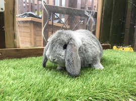 German lop baby rabbits £40 each