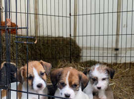 4 beautiful jack tzu puppies for sale