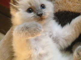 Wanted ragdoll to £300-400