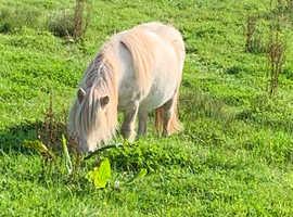 Fully registered miniature Shetland mare