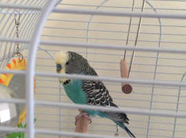 6 month old boy budgie