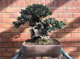 Bonsai, Yamadori Bonsai tree, Olive Bonsai, Collected tree, Old Olive,