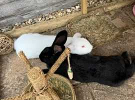 French lop cross New Zealand rabbits