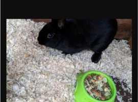 Black female mini paillion rabbit