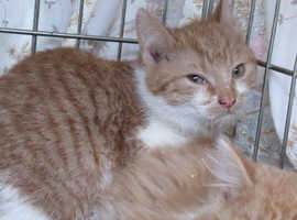 Ginger & White Kittens male Turkish Van x