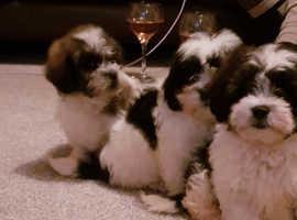 Stunning f1 cavachon puppies