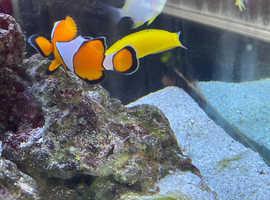 Marine fish mushroom coral 4 x clown, wrasse, damsel, tiger cucumber