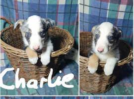 Pure Bred Blue/Tri Colour Border Collies Puppies
