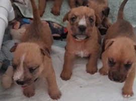 cairn x pups for sale