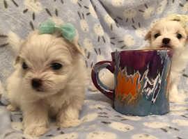 Maltchi maltese x cross Chihuahua puppies petite small dog Male puppy like teddies