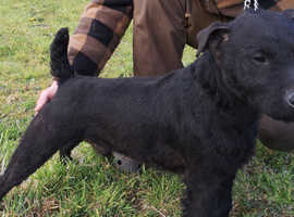 Patterdale at stud