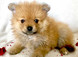 Mini XXSmal Pomeranian puppies