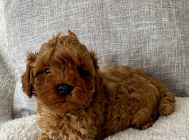 Red Cavapoo puppy boy ready now