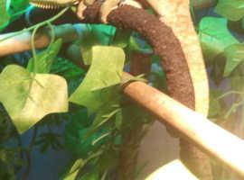 9/10  mth old Male Venem/Veiled Chameleon with full set up brand new