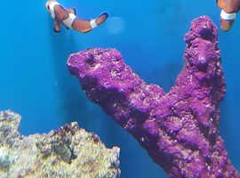 Two ocellaris (common) clownfish