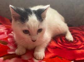 Beautiful white Kitten for sale