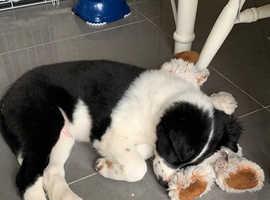 12 week puppy
