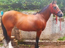 Gorgeous 14.2hh 11yo Welsh Cob Mare