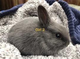 Netherland dwarf x Rex baby bunnies