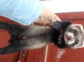 2 baby boy ferrets