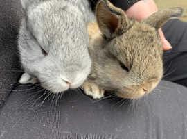 British giant cross bunnies