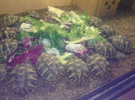 Beautifully healthy Hermanns Tortoises - Ready Now !
