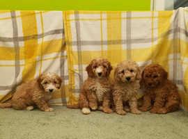 Cockapoo F1 puppies